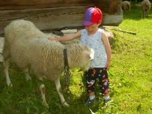 Owce i barany są wśród nas